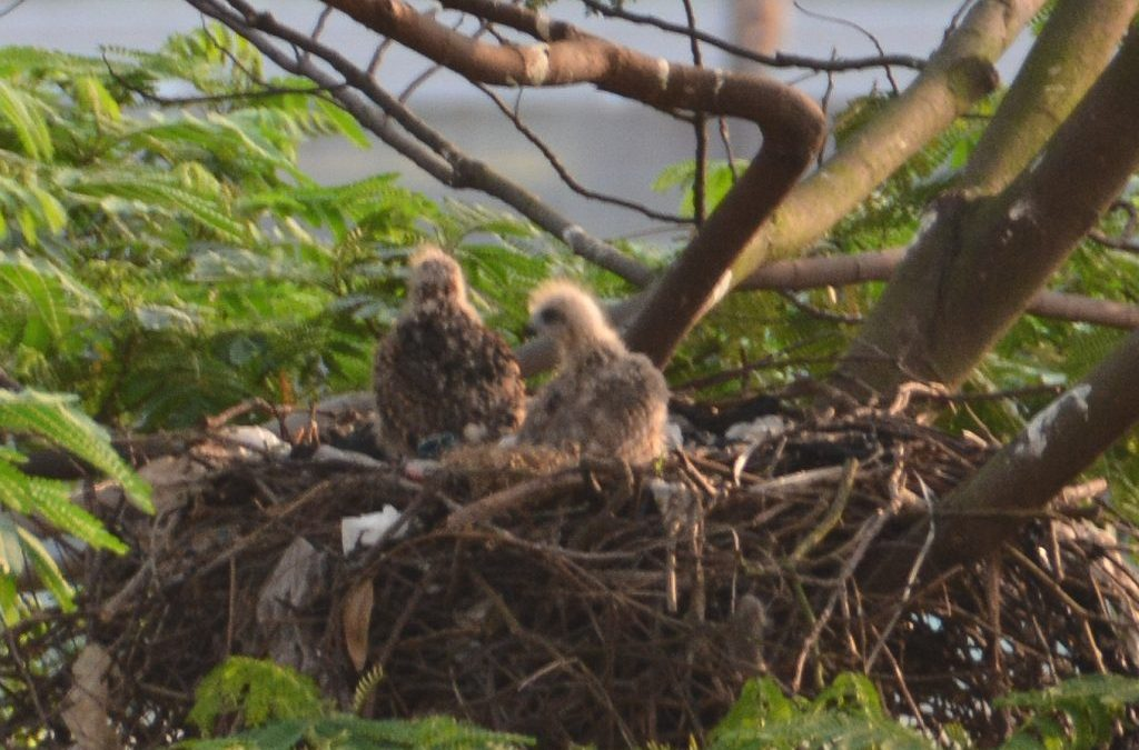 Black kite chicks